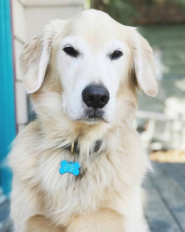 "Golden Retriever Tucker: ""Eyes on the ."""