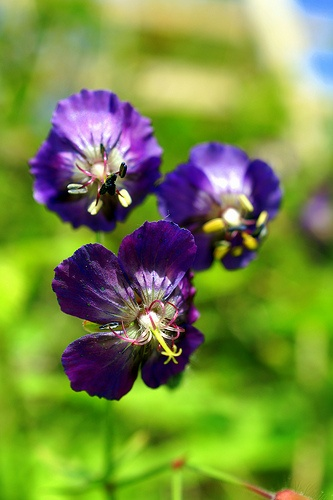 69 best geranium images on pinterest geraniums hardy geranium