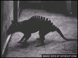Footage from the Hobart Zoo, where the last known living thylacine died in 1938. Gif available at http://gifsoup.com/account/goldthylacine and adapted from the video at http://www.youtube.com/watch?v=egEZr2JWYH4