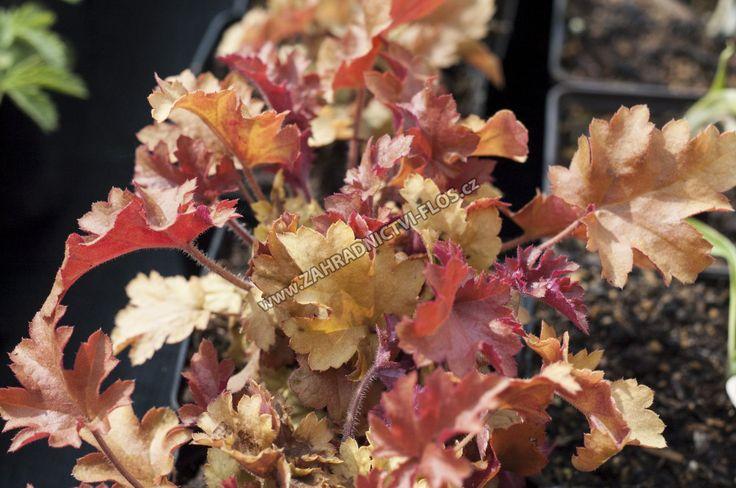 Heuchera hybrida 'Marmalade' - dlužicha