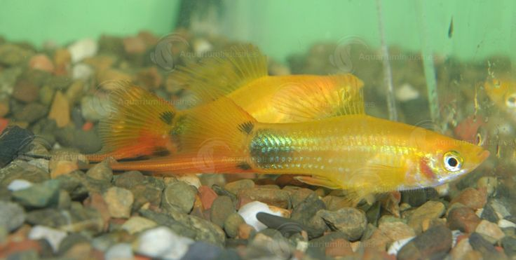 Gold Mickey Mouse Swordtail They Are A Great Addition To