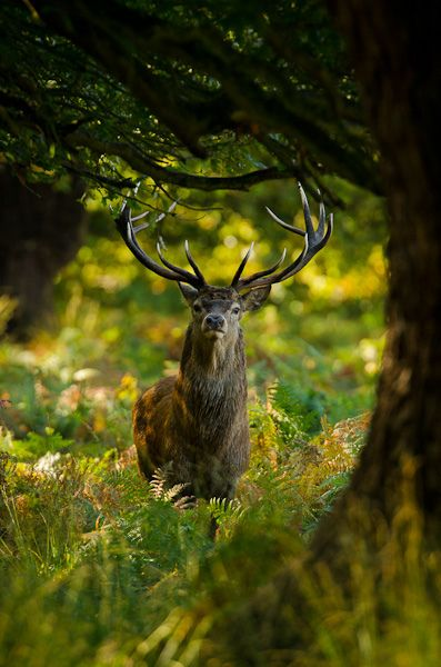 Red deer stag by andrewinpompey on Flickr.