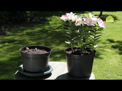 Выращиваем садовые лилии в горшках - YouTube   Лилии ...
