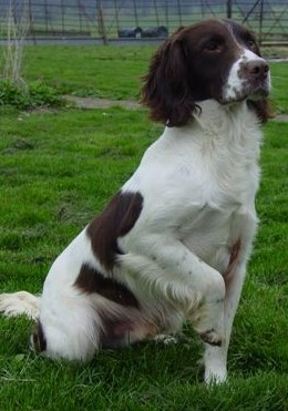 Springer Spaniel - Love these smart, gentle, beautiful dogs.