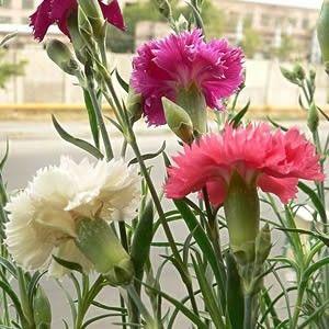 Cravo Gigante Chabaud Rosa Sementes P/ Mudas Flor Craveiro - R$ 4,49 em Mercado Livre