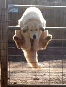Gotta be a Great Pyrenees. Hasn't learned to open the gate ....yet !