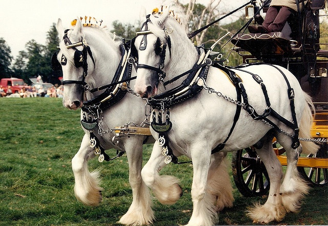 Shire Horses    Ashwell Show  Beautiful matched team!!!!!!!