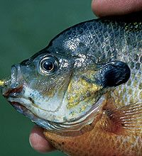 This is an article from Game & Fish Magazine about fly-fishing for bluegills