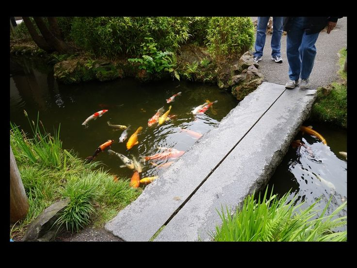 162 best san francisco japanese tea garden oldest public for Koi pond japanese tea garden san francisco