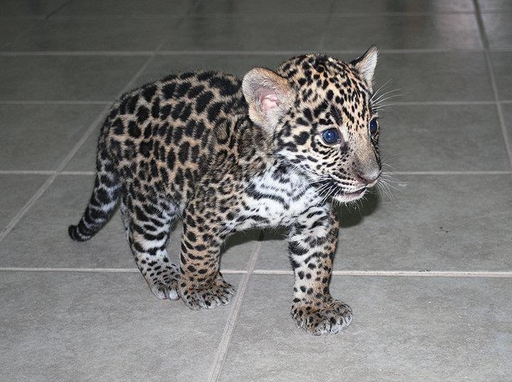 Baby Jaguar | Animal Cuteness | Pinterest