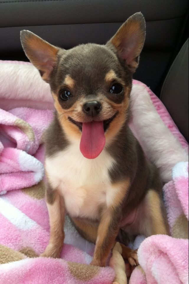 Best 25+ Chihuahuas ideas on Pinterest