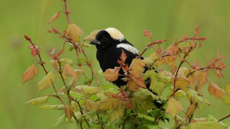 """This video celebrates the amazing song of the Bobolink, described by one author as """"a mad, wreckless song fantasia—an outbreak of pentup irrepressible glee,"""" and by another as """"a bubbling delirium of ecstatic music that flows from the gifted throat of the bird like sparkling champagne."""""""