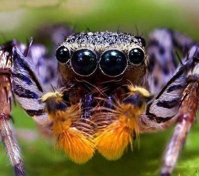 Ugly Overload: Jumping Spider Eyes the Big Slobwhale has eyes similar to this