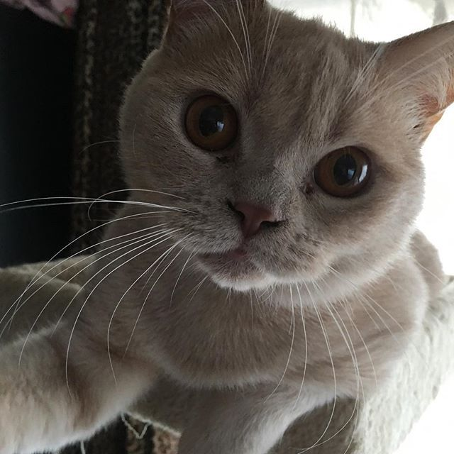 ・ ・ おはよう✨ ・ 今日は良い天気になりそうにゃん😻 ・ ・ #ブリティッシュショートヘア #ブリショー #愛猫 #愛猫同好会 #ねこ #ねこ部 #ねこ好き #ねこすたぐらむ #関西ねこ部 #猫 #犬と猫のいる暮らし #多頭飼い #にゃんこ #にゃんすたぐらむ #cat #cats #catlover #catstagram #catsofinstagram #neko #cute #family #instacat #lovelycat #britishcat #britishshorthair