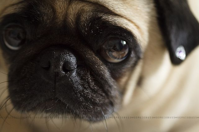 so cute: Awww, Puppies Faces, Cute Baby, Sad Faces, Sweet Faces, Pugs Erif, Baby Faces, Pugs Faces, Adorable Animal