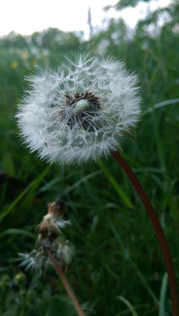 #Dandelion :) #pitypang