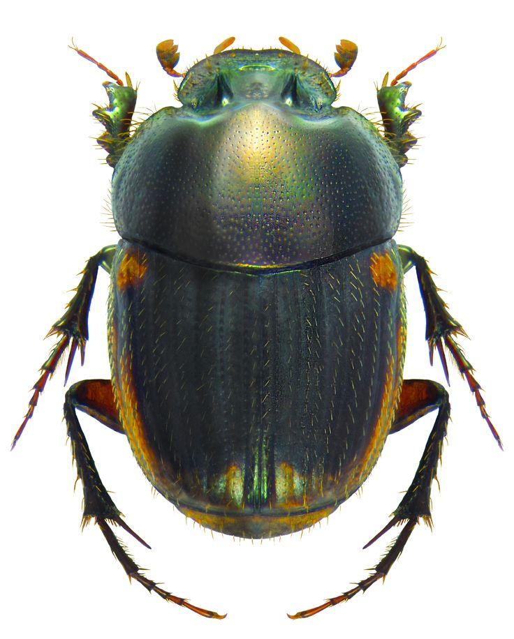 Onthophagus pseudovinctus