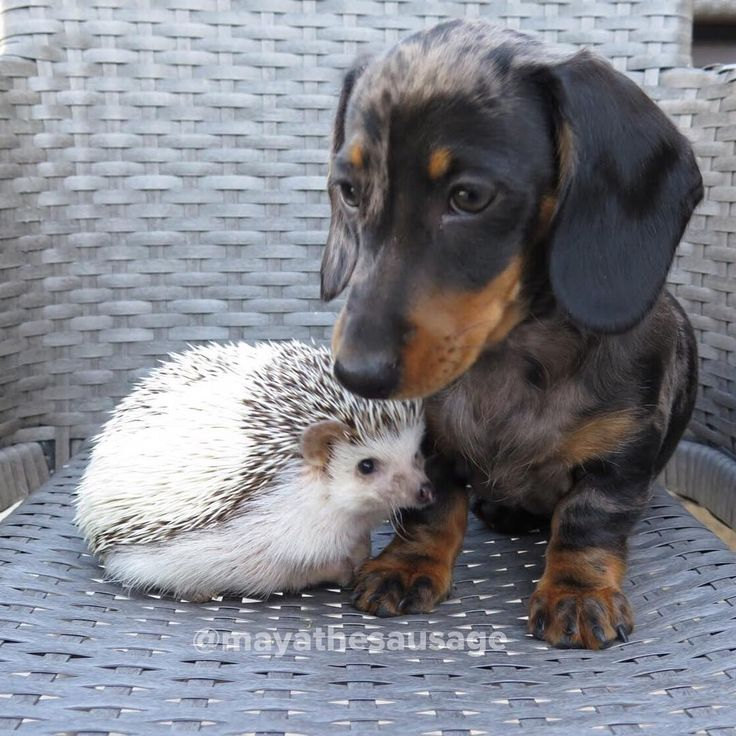 Silver dapple miniature dachshund and african pygmy hedgehog