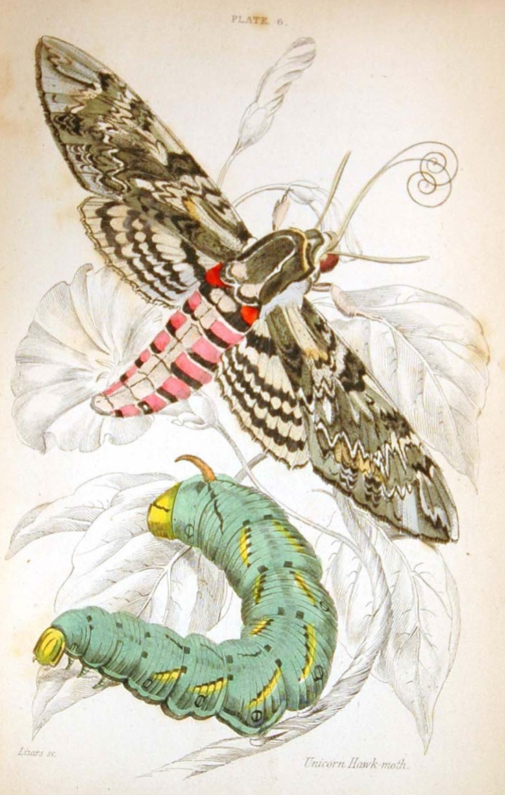 Unicorn Hawk Moth
