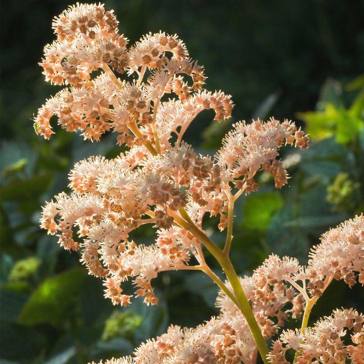 Rodgersia aesculifolia (Large Plant) - Perennial & Biennial Plants - Thompson & Morgan