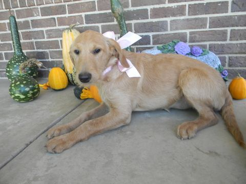 Labradoodle puppy for sale in LEO, IN. ADN-47608 on PuppyFinder.com Gender: Female. Age: 16 Weeks Old