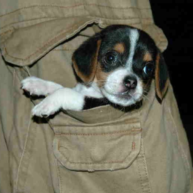 pocket beagle... literally