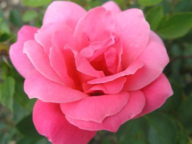 Rosa 'De Montarville', kanadensisk ros. Röda knoppar, blommar sedan rosa. Mild doft. Huvudblomningen i juli, blommar om senare.  Höjd: 1 m. Bladen ljusgröna, lätt glänsande. Upprätt, tät och något taggig. Zon IV. Läge: Sol-halvskugga.