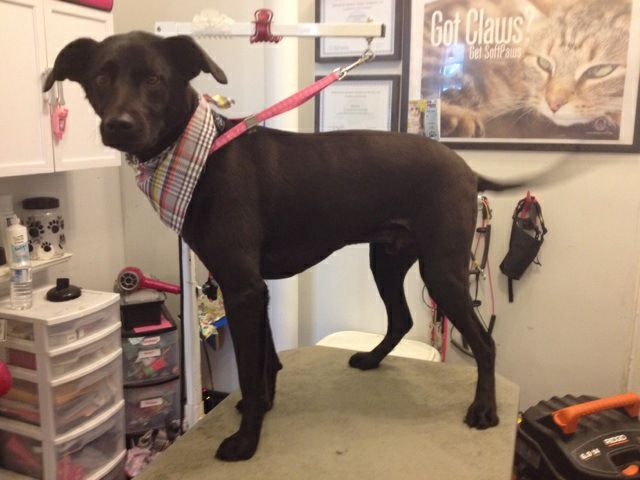 Lab Kennel Cut by Jodi Watson at CHOW Bella Pets