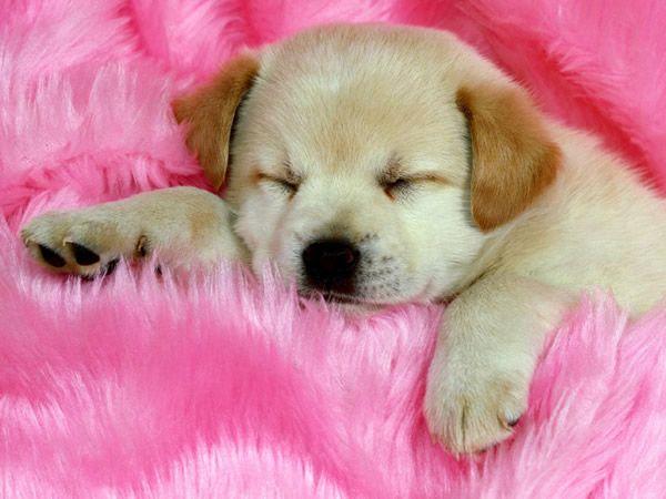 Filhote de Labrador dormindo em cima da cama