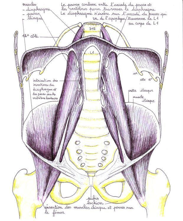 Le psoas: un muscle de grande importance! psoas strech