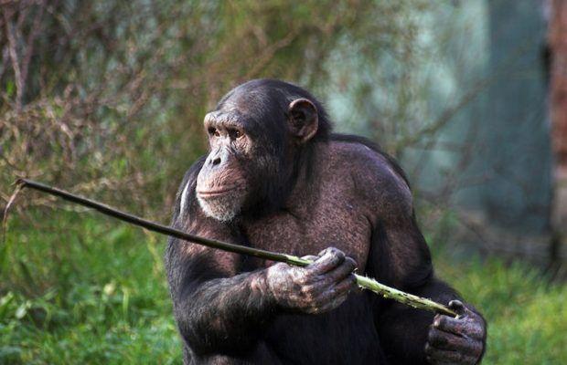 ARKEOFİLİ ///  Uzun Mesafe Seyahat Eden Şempanzeler Daha Sık Alet Kullanıyor