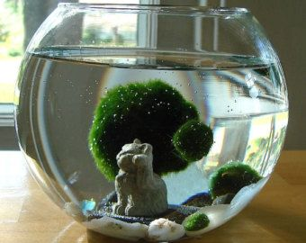 Driftwood Live Marimo Moss Ball Air Plant Ecosphere by MyZen