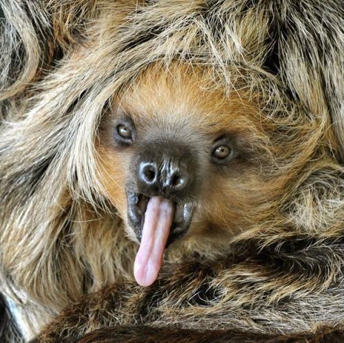 Восьмимесячный детеныш ленивца по кличке Камилло зевает в зоопарке в Хале, восточная часть Германии.