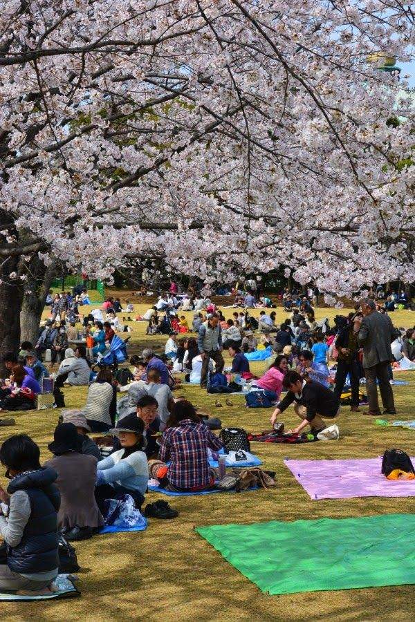 picnic under the sakura blossom in tokyo