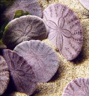 Live sand dollars...this article tells a lot about them from a native in the FL coastal area. The live animals look furry and are brown, dark tan, or purple. They often are found in groups positioned vertically like in this picture! They sometimes swallow sand to add weight and keep themselves from being washed away.