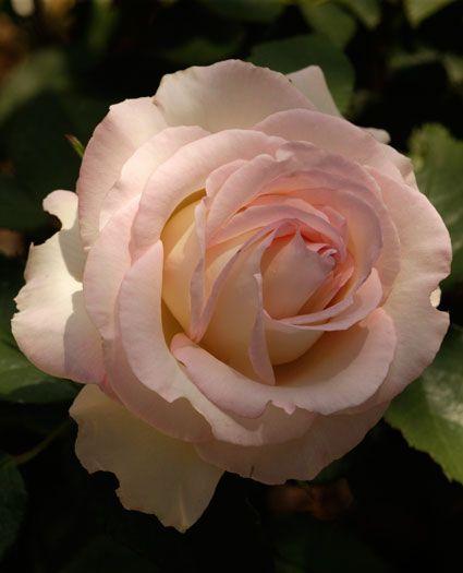 [JP: Moonstone™ (Chrystalline x Lynn Anderson) - Cream White Fine Pink Edging Hybrid Tea Roses