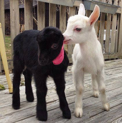 Ansel and Petal are two baby goats who were rescued from a New Jersey farm. Now they're inseparable playmates!