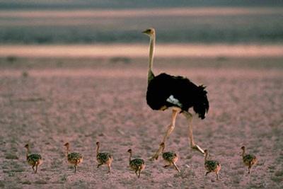 Ostriches - ANGOLA