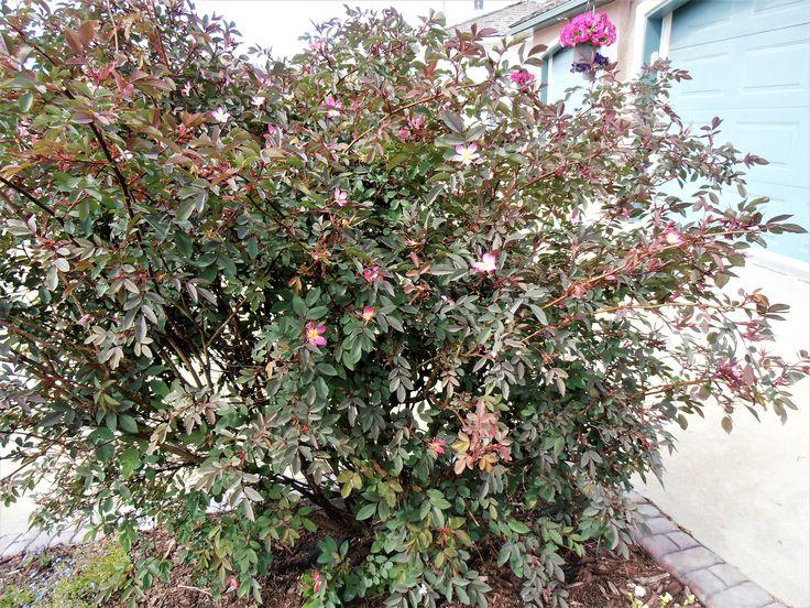Redleaf Rose Tree