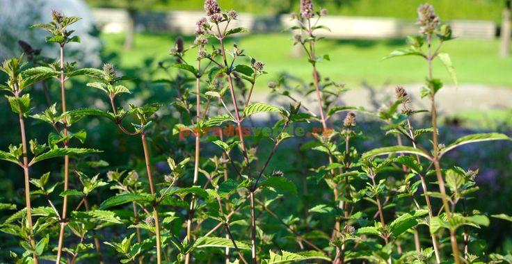 Menta, condiment și detoxifiant al organismului | Paradis Verde