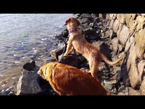 Grand Griffon Fauve de Bretagne 7 mois - YouTube / Nova Scotia Duck Tolling Retriever / nsdtr / Dog friend / chien de chasse