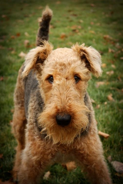 133 best Airedale Terrier images on Pinterest