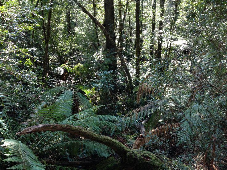 Walking through the bush to the Ada Tree, Powelltown, Victoria, Australia