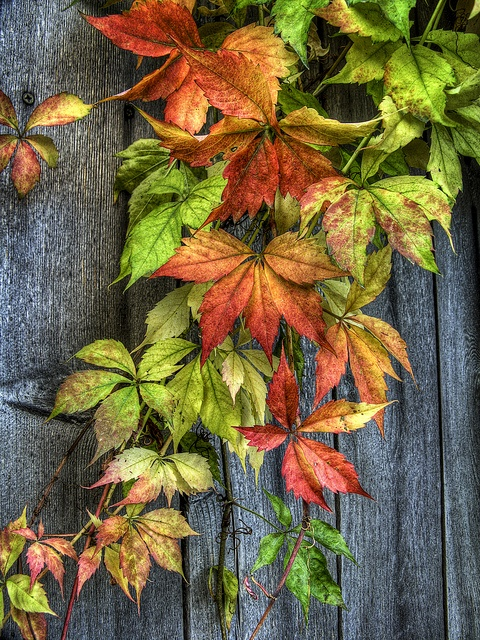 Boston ivy - on wooden fence at the back where jasmine has stopped growing...
