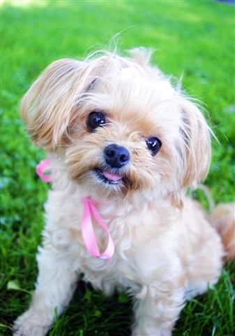 Cutest Dog Contest underway here in Merced CA! Please click on the pin to vote for my Dog Wendy. Voting goes till Saturday May 17th at 11:59pm   Cute Dogs, Disney dog names, Yorkie Pomeranian, green grass, Pink ribbon, teddy bear face, doggie ponytail.
