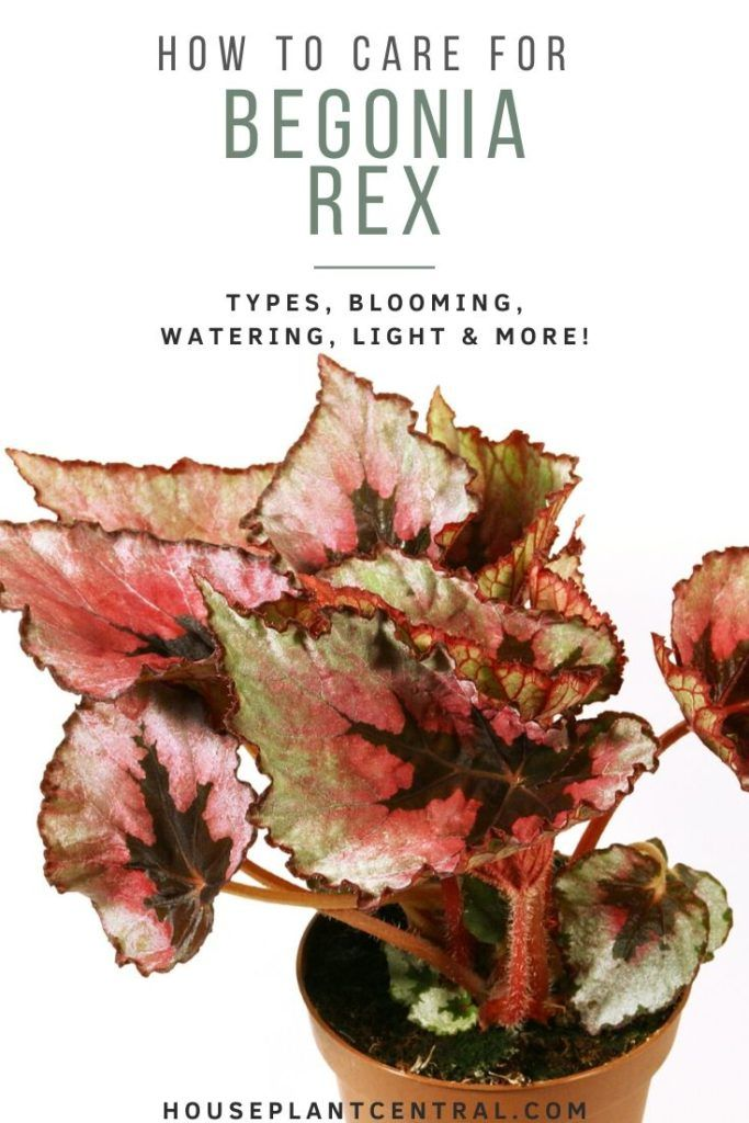 Rex Begonia In 2020 With Images Begonia House Plants Growing