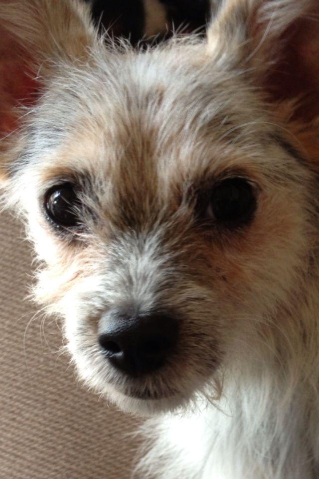 Mini Blue Heeler/ Jack Russell Mix | Cute puppies, Puppies