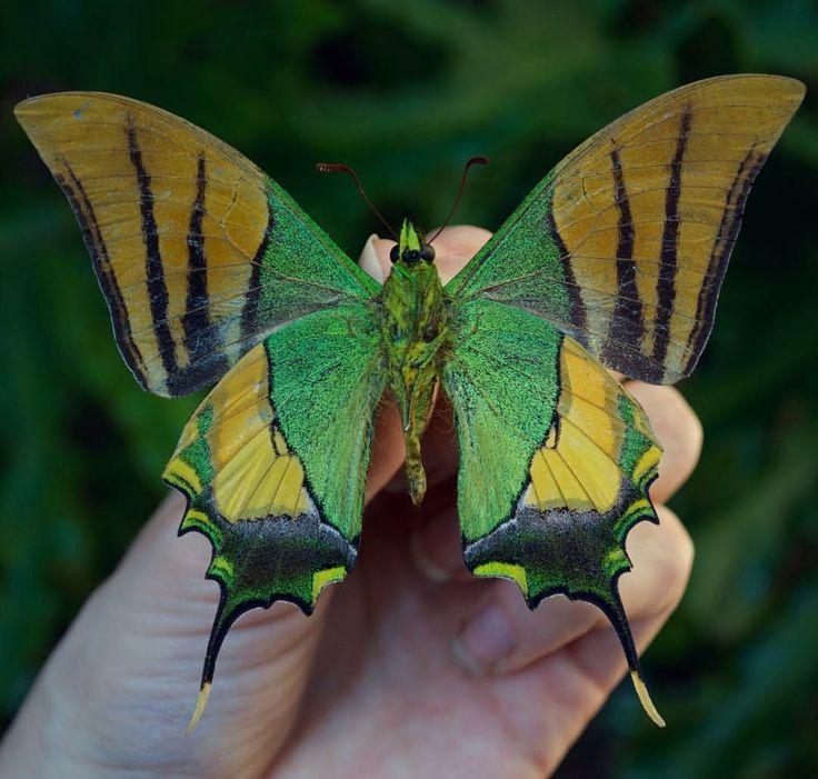 Pin by Dee Snoddy on Butterfly | Pinterest | Butterfly, Beautiful butterflies and Moth