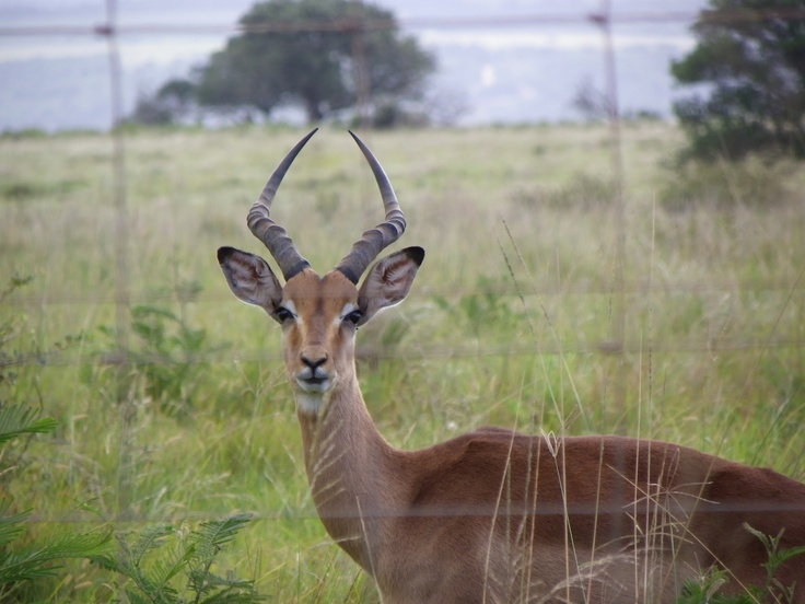 friendly impala ram welcoming us to Southwell