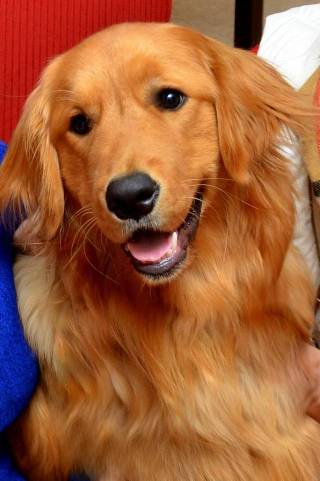 Everything You Ever Wanted To Know About Golden Retrievers